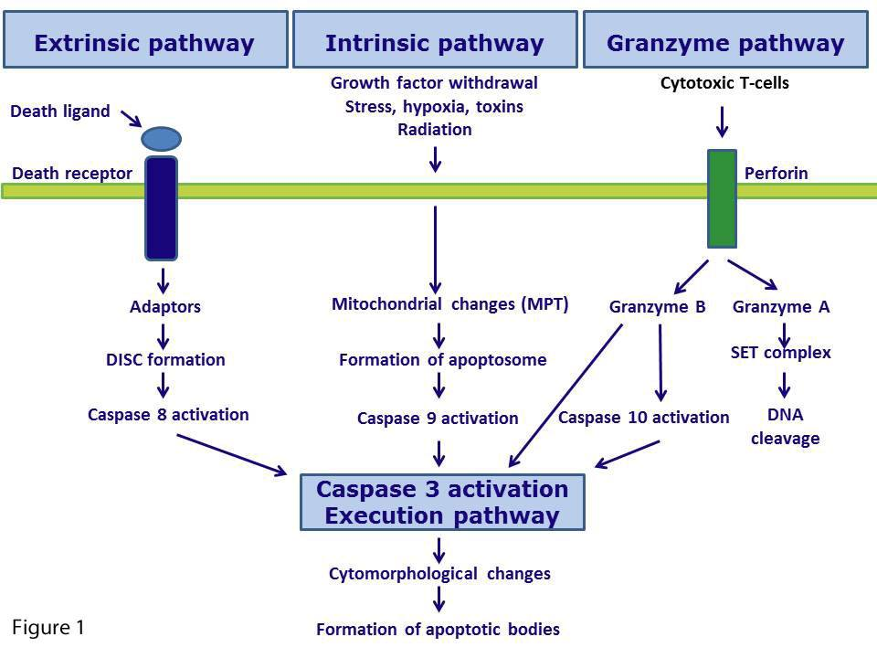20__apoptotic_mechanisms-1
